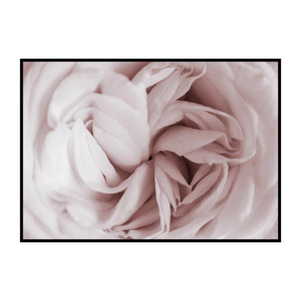 Постер на стену Пионовидная роза