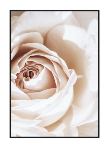 постер нежный роза крупно вид сверху