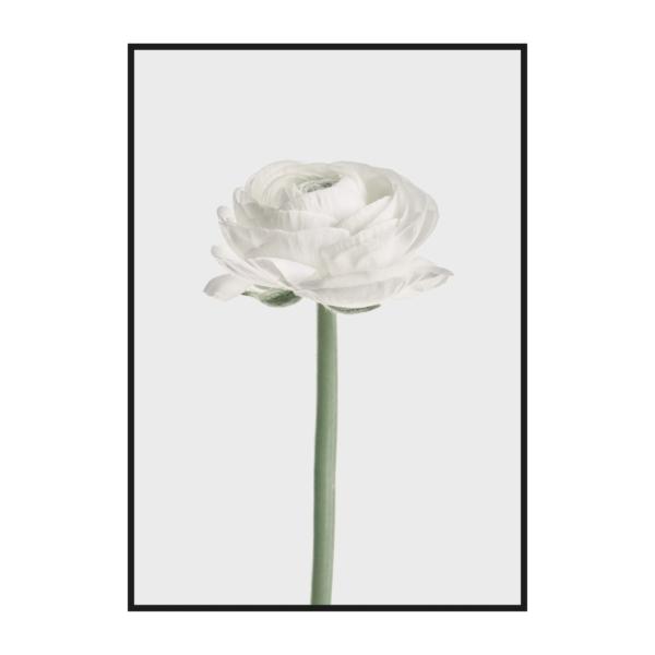 Цветок Ранункулюса в черной раме
