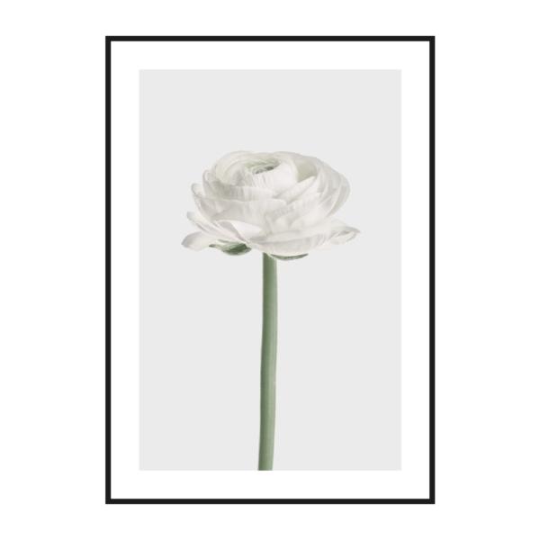 Цветок Ранункулюса