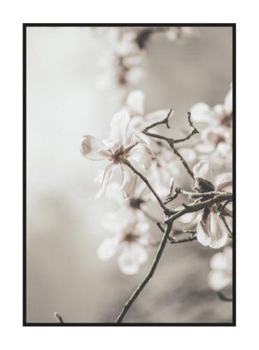 постер цветы белые магнолии
